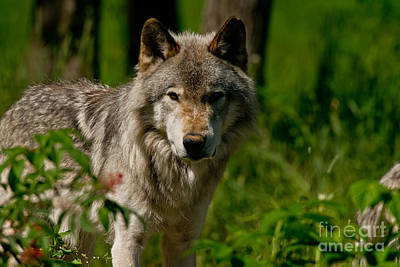Animals Royalty-Free and Rights-Managed Images - Timber Wolf Pictures 266 by Wolves Only