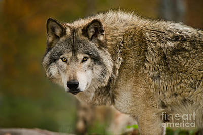 Photograph - Timber Wolf Pictures 267 by Wolves Only