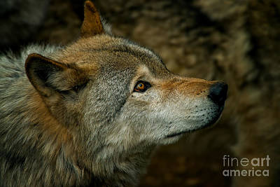 Photograph - Timber Wolf Pictures 268 by Wolves Only