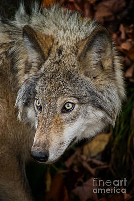 Photograph - Timber Wolf Pictures 270 by Wolves Only