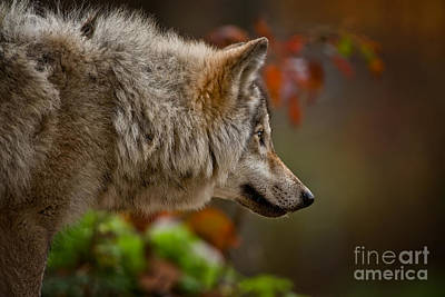Photograph - Timber Wolf Pictures 272 by Wolves Only