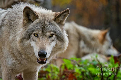 Photograph - Timber Wolf Pictures 273 by Wolves Only