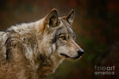 Photograph - Timber Wolf Pictures 275 by Wolves Only