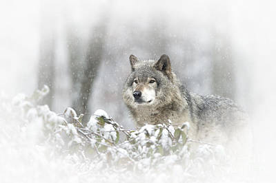 Animals Royalty-Free and Rights-Managed Images - Timber Wolf Pictures 279 by Wolves Only