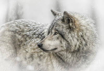 Photograph - Timber Wolf Pictures 280 by Wolves Only