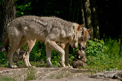 Photograph - Timber Wolf Pictures 325 by Wolves Only
