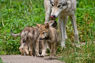 Photograph - Timber Wolf Pictures 328 by Wolves Only
