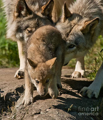 Photograph - Timber Wolf Pictures 331 by Wolves Only
