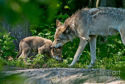 Photograph - Timber Wolf Pictures 332 by Wolves Only