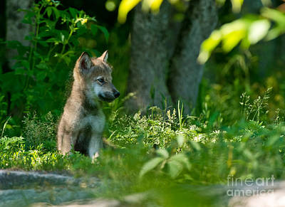 Photograph - Timber Wolf Pictures 333 by Wolves Only