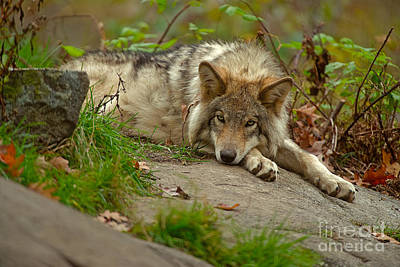 Photograph - Timber Wolf Pictures 400 by Wolves Only