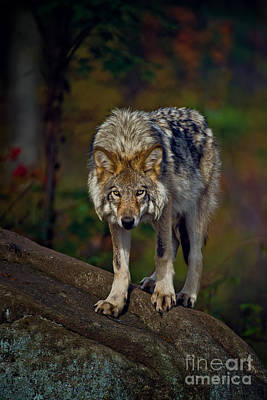 Photograph - Timber Wolf Pictures 402 by Wolves Only