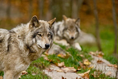 Photograph - Timber Wolf Pictures 404 by Wolves Only