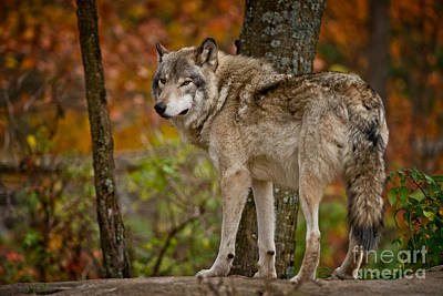 Photograph - Timber Wolf Pictures 405 by Wolves Only