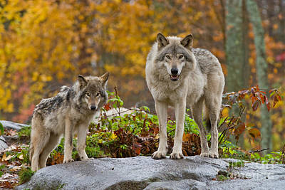 Photograph - Timber Wolf Pictures 407 by Wolves Only