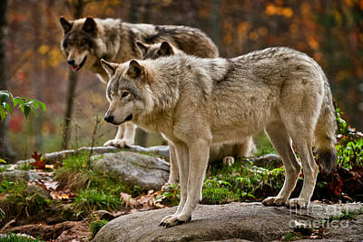 Photograph - Timber Wolf Pictures 409 by Wolves Only