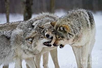 Photograph - Timber Wolf Pictures 50 by Wolves Only