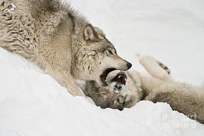 Photograph - Timber Wolf Pictures 51 by Wolves Only