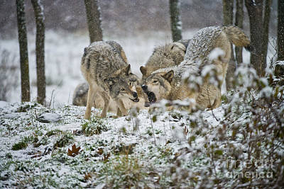 Photograph - Timber Wolf Pictures 52 by Wolves Only