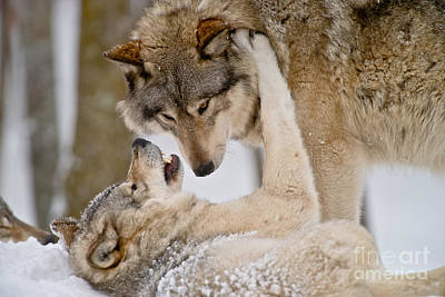 Photograph - Timber Wolf Pictures 55 by Wolves Only
