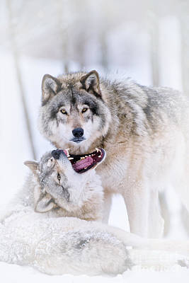 Animals Royalty-Free and Rights-Managed Images - Timber Wolf Pictures 56 by Wolves Only