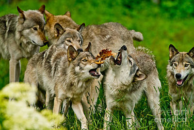 Photograph - Timber Wolf Pictures 60 by Wolves Only