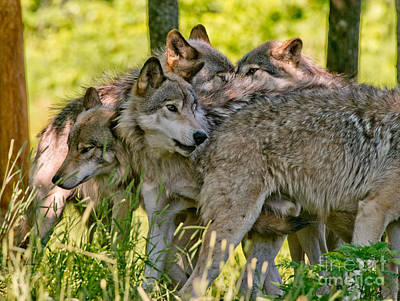 Photograph - Timber Wolf Pictures 61 by Wolves Only