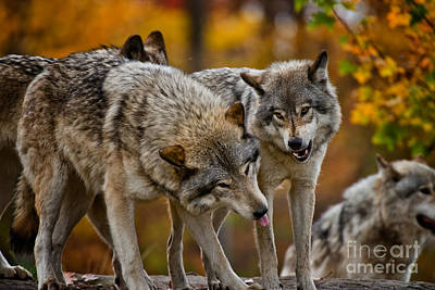 Photograph - Timber Wolf Pictures 62 by Wolves Only
