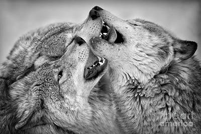 Photograph - Timber Wolf Pictures 63 by Wolves Only