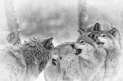 Photograph - Timber Wolf Pictures 64 by Wolves Only