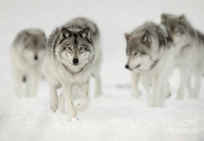 Animals Royalty-Free and Rights-Managed Images - Timber Wolf Pictures 65 by Wolves Only
