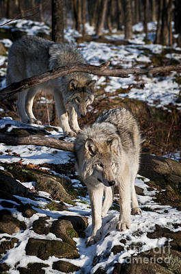 Timber Wolf Pictures 957 Art Print by World Wildlife Photography