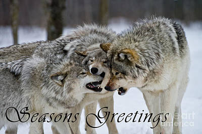 Photograph - Timber Wolf Seasons Greetings Card 13 by Wolves Only
