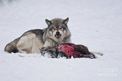 Photograph - Timber Wolf  With Carcass. by Wolves Only