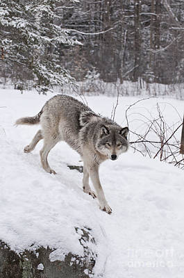 Art Print featuring the photograph Timber Wolf  by Wolves Only