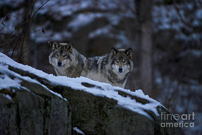Pups Photograph - Timber Wolves In Evening by Michael Cummings