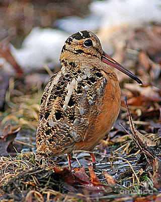 Woodcock Photograph - Timberdoodle The American Woodcock by Timothy Flanigan