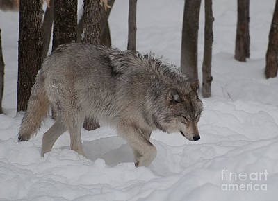 Photograph - Timberwolf Series 3 by Bianca Nadeau