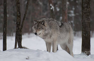 Photograph - Timberwolf Series 4 by Bianca Nadeau