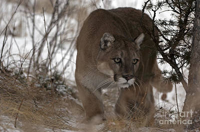 Panther Photograph - Time Stands Still by Wildlife Fine Art