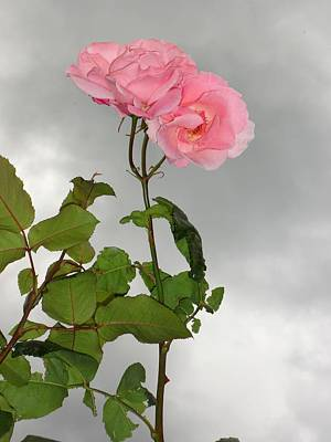 Donatella Photograph - Timid Rose Under A Grey Sky by Donatella Muggianu
