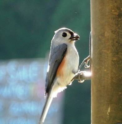 Photograph - Timmy Titmouse Feeding by Belinda Lee