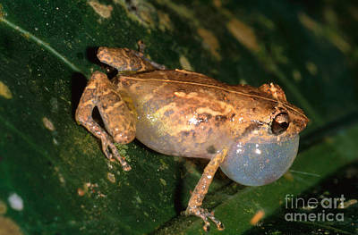 Eleutherodactylus Photograph - Tink Frog by Gregory G. Dimijian, M.D.