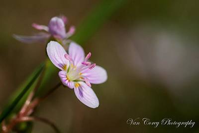 Photograph - Tiny Beauty by Van Corey