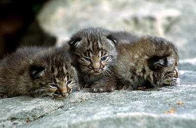 Bobcat Kitten Photograph - Tiny Bobcat Kittens by Larry Allan