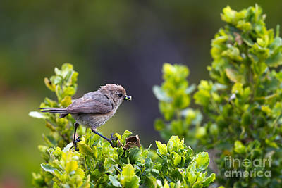 Photograph - Bushtit Bags A Bug by Martha Marks