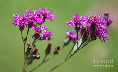 Photograph - Tiny Byzantine Colored Flowers by Jackie Farnsworth