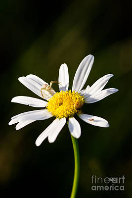 Photograph - Tiny Daisy And Crab Spider by Ms Judi