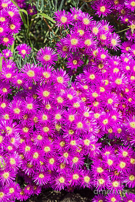 Royalty-Free and Rights-Managed Images - Tiny Dancer - Colorful Midday Flowers Lampranthus Amoenus flower in bloom in Spring. by Jamie Pham