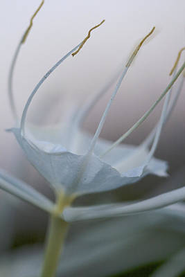 Photograph - Tiny Dancer - Spider Lily by Jane Eleanor Nicholas